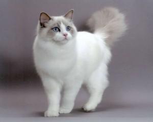 Ragdoll je plemeno mačiek vyšľachtené v 60. rokoch 20. storočia v  Kalifornii. a43f2d75190